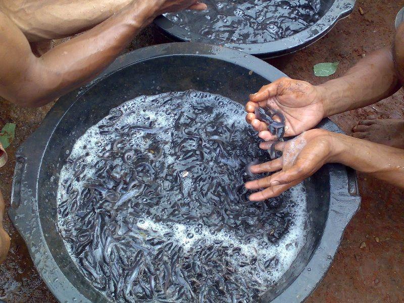 Budidaya Ikan Lele Rumahan Infoakuakultur Com